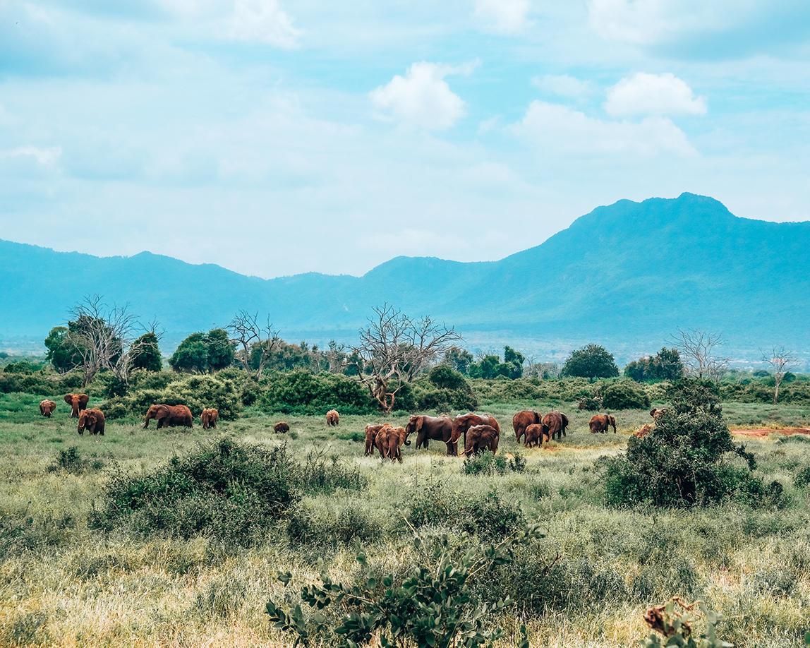 słonie tsavo